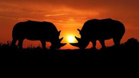 Les rhinocéros d'aujourd'hui