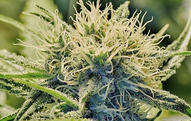 Université de Denver: des cours de droit du cannabis