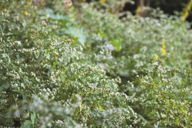 La forêt nourricière, un regroupement d'arbustes à l'orée du boisé, compte toutes sortes de plantes indigènes au mont Royal.