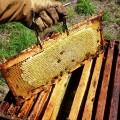 Le financement des ruches a été aidé par le programme d'accréditation STARS en développement durable. (Photo: Wikimedia Commons | Onésime)