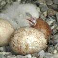Le premier des quatre œufs à avoir éclos cette année. (Crédit photo : Faucons de l'UdeM / UdeM Falcons)