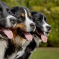 """« Mira à trois races de chiens : le labrador, le labernois, et le saint-pierre"""", explique le chercheur postdoctorant à la Fondation Mira et à l'UDEM, Nicolas Dollion. Crédit photo : Thierry du Bois"""